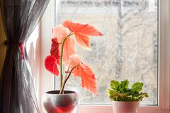 houseplant flowerpots on the windowsill, dusty glass, spring still life - stock photo