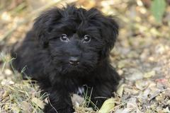 An adorable big eyed fluffy puppy looking up with a look that says it all Stock Photos