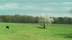 Time lapse blooming tree cow pasture cloudy sky Stock Footage