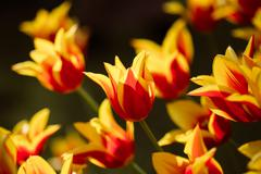 Red and Yellow Tulips Flowers In Spring Garden Flower Bed - stock photo