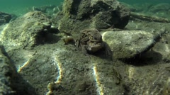 Toad coupling underwater, reflection of light Stock Footage