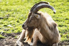 Stock Photo of Goat in the Monza Park