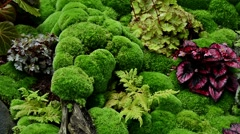 Zoom out ground full of begonias and moss Stock Footage