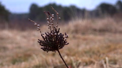 4k Cross-Leaved Heath plant close up Lunenburg Heath Stock Footage