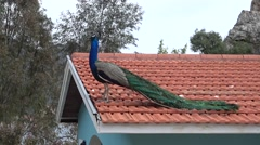 Audio peacock crying on roof Stock Footage