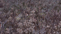 4k Cross-Leaved Heath plants close up Lunenburg Heath Stock Footage