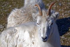 Dall sheep Stock Photos