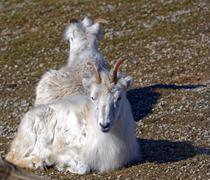 Dall sheep - stock photo