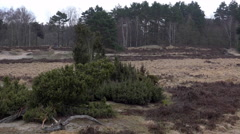 4k Lunenburg Heath surreal juniper pine landscape bad weather Stock Footage