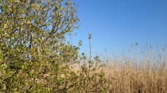 Reed fields blown by the wind Stock Footage