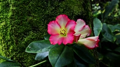 Zoom out of an isolated pink flower with moss Stock Footage
