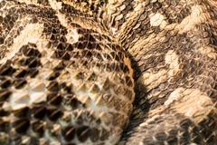 Snake in the terrarium - Gaboon viper - stock photo