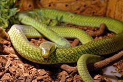 Snake in the terrarium - Green rat snake Stock Photos