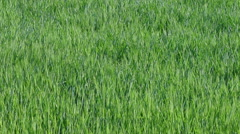 Green wheat plant in field panning HD video - stock footage