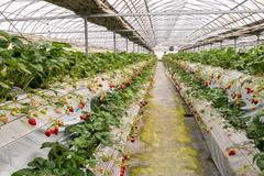 Strawberry cultivation in plant - stock photo