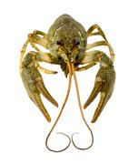 Live crayfish close up on a white background. Stock Photos