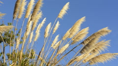 Pacific Coast Highway #1 California tan Pampas Grass near highway into the blue - stock footage