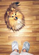 sitting shelty dog on woody ground - stock photo