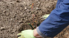 Gardener pouring  ground around planted rose in the park, hands close up. Stock Footage