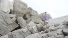 Mountain flower growing on bare rocks Stock Footage