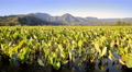 Dawn time lapse of Hanalei, Kauai, Hawaii, Taro Plantation Footage