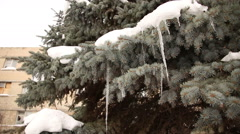 Blue spruce branches covered with snow and icicles Stock Footage