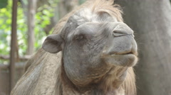 Head of a camel for animal background  Stock Footage