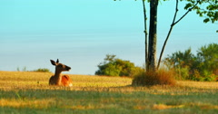 4K Female Doe Whitetail Deer Resting Peacefully in Grass Park Stock Footage