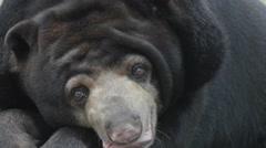 Old Sun Bear (Helarctos malayanus) close up - stock footage