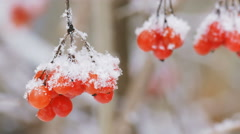 Bunch of viburnum berries covered with snow in the foreground. Stock Footage