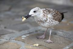 Herring Gull eats bread - stock photo