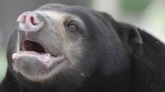 Old Sun Bear (Helarctos malayanus) close up Stock Footage
