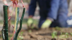 Seedling roses close up, gardener planting in the background, shallow depth of f Stock Footage