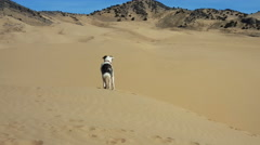 Black White dog at mtns and sand dunes Stock Footage