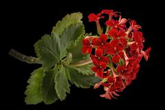 Flower Kalanchoe, tropical succulent, isolated on black background - stock photo