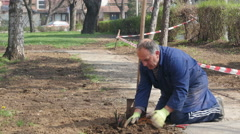 Medium shot of gardener while planting roses in the park, sunny day, tracking. Stock Footage