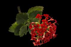 Flower Kalanchoe, tropical succulent, isolated on black background Stock Photos