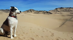 Black White dog looks out over mtns and sand dunes Stock Footage
