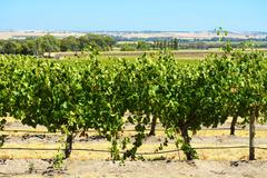 Rows of Grape Vines Stock Photos
