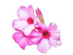 Beautiful pink azalea flowers Stock Photos