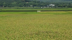 Landscape of a green field with rice stalks swaying in the wind Stock Footage