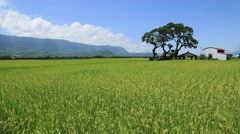 House located in a large rice field Stock Footage