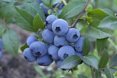 Group fresh mellow blueberries on the green Bush. Stock Photos