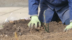 Work process of rose planting, gardener pouring ground, dolly shot. Stock Footage