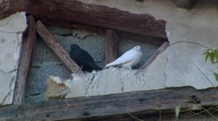 Black and white birds in rooftop - peace in ceasefire war zone Stock Footage