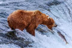 Grizzly Bears of alaska - stock photo