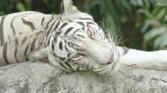 White tiger laying on a rock for animal background Stock Footage