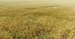 Stock Video Footage of Flight Over Ripe Wheat Field