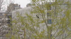 Crow on the tree in urban enviroment Stock Footage