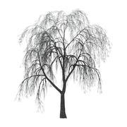 Willow on White - stock illustration